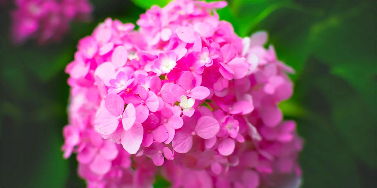 美的心都醉了的紫阳花唯美摄影